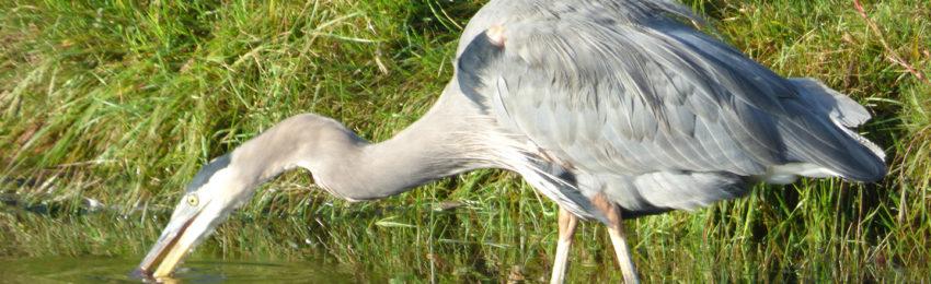 photo of grey heron at sunset park